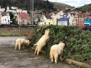 Llandudno's Goats